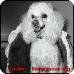 Poodle (Toy or Tea Cup) Dog for adoption in Shawnee Mission, Kansas - Luche