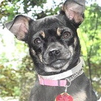 Adopt A Pet :: Precious baby Amber - Baltimore, MD