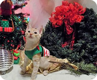 Domestic Shorthair Kitten for adoption in Gainesville, Florida - Timone