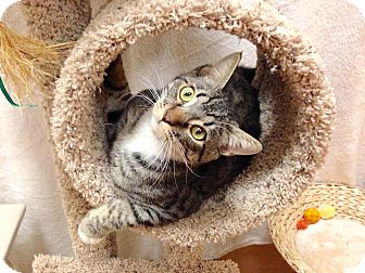 Domestic Shorthair Cat for adoption in Foothill Ranch, California - Oliver