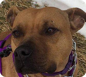 Boxer/Labrador Retriever Mix Dog for adoption in New Richmond,, Wisconsin - Cyndee