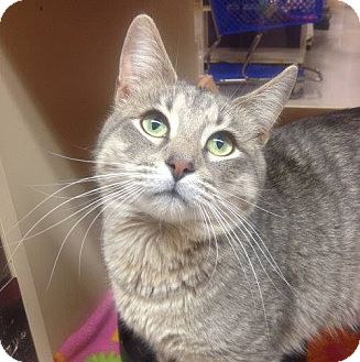 Domestic Shorthair Cat for adoption in Weatherford, Texas - Freddy