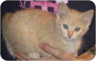 Domestic Shorthair Kitten for adoption in Alden, Iowa - Cheshire