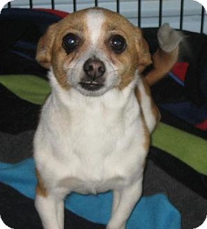 Chihuahua Dog for adoption in Newburgh, Indiana - Lizzy- Tiny !