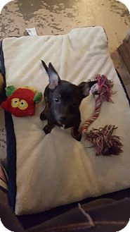 Chihuahua Mix Puppy for adoption in Arlington/Ft Worth, Texas - Ollie