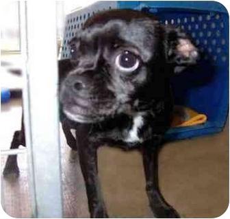 Boston Terrier/Pug Mix Dog for adoption in San Clemente, California - CHRISTIE