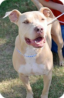 Pit Bull Terrier Dog for adoption in Midland, Texas - Oz (Chopper)