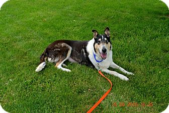 Collie Dog for adoption in Powell, Ohio - Summer