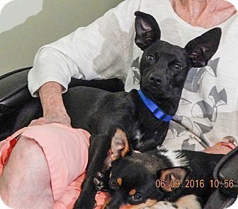 Rat Terrier/Terrier (Unknown Type, Small) Mix Dog for adoption in West Sand Lake, New York - Buddy(15 lb) Close To Perfect!