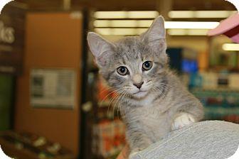 Domestic Shorthair Kitten for adoption in Rochester, Minnesota - Tyrion Lannister