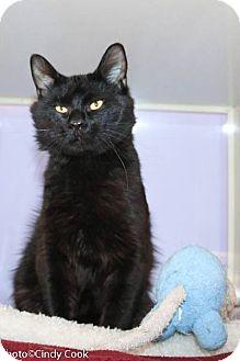Domestic Mediumhair Cat for adoption in Ann Arbor, Michigan - Little Bear