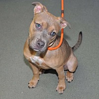American Staffordshire Terrier Mix Puppy for adoption in Lakeville, Minnesota - Sarabi