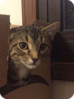 Domestic Shorthair Kitten for adoption in Overland Park, Kansas - Lou