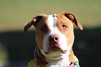 Pit Bull Terrier Mix Dog for adoption in Va Beach, Virginia - Lola