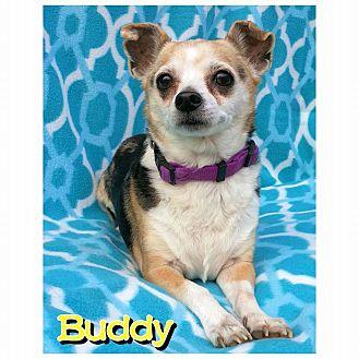 Chihuahua Mix Dog for adoption in Charlotte, North Carolina - Buddy