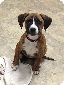 Pit Bull Terrier/Hound (Unknown Type) Mix Puppy for adoption in Colebrook, Connecticut - Leia