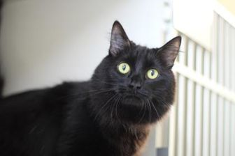 Domestic Longhair/Domestic Shorthair Mix Cat for adoption in Manteo, North Carolina - Piper