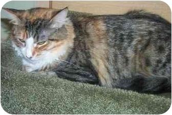 Domestic Mediumhair Cat for adoption in Newburgh, New York - Eva