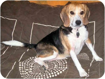Beagle Dog for adoption in Latrobe, Pennsylvania - Nina