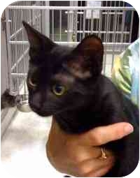 Domestic Shorthair Kitten for adoption in Tampa, Florida - Cupcake
