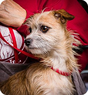 Terrier (Unknown Type, Small) Mix Dog for adoption in Anna, Illinois - PEANUT