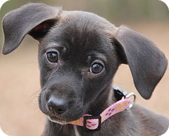 Dachshund Mix Puppy for adoption in Stamford, Connecticut - Holly