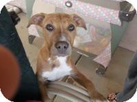 Boxer Mix Puppy for adoption in Chandler, Arizona - Jo Jo
