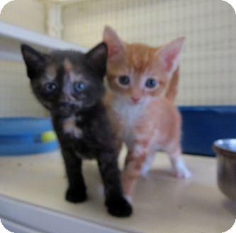Domestic Shorthair Kitten for adoption in Elizabeth City, North Carolina - Colorado