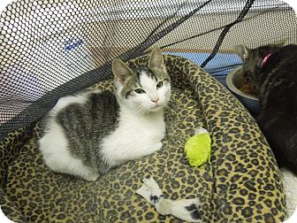 Domestic Shorthair Kitten for adoption in Medina, Ohio - Smore