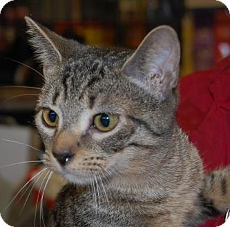 Domestic Shorthair Cat for adoption in Brooklyn, New York - Jazzy