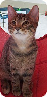 Domestic Shorthair Cat for adoption in Chambersburg, Pennsylvania - Hurley