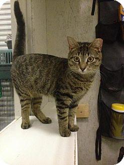 Domestic Shorthair Cat for adoption in St. James City, Florida - Mattie