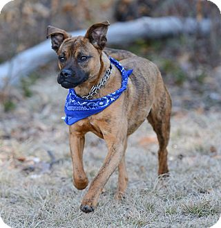 Boxer Mix Dog for adoption in Westminster, Maryland - Red