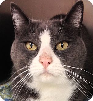 Domestic Shorthair Cat for adoption in Clayville, Rhode Island - LZ