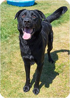 Labrador Retriever Mix Dog for adoption in Fruit Heights, Utah - Rex