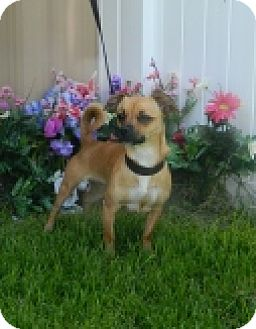 Chihuahua Mix Dog for adoption in Columbus, Nebraska - Lily