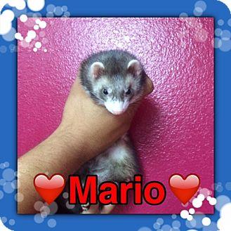 Ferret for adoption in Pahrump, Nevada - Mario