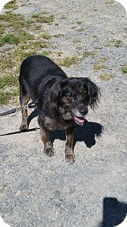 Australian Shepherd/Labrador Retriever Mix Dog for adoption in Cuddebackville, New York - Dexter