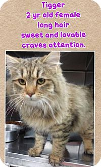 Maine Coon Cat for adoption in Greenville, Kentucky - Tigger