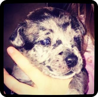 Catahoula Leopard Dog Mix Puppy for adoption in Grand Bay, Alabama - Galen