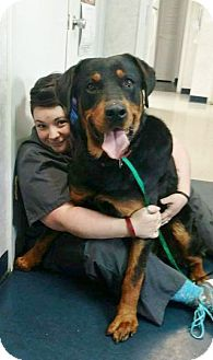 Rottweiler Dog for adoption in Minnesota, Minnesota - BEAR
