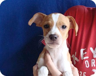 Jack Russell Terrier/Rat Terrier Mix Puppy for adoption in Oviedo, Florida - Kammy
