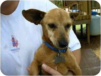 Dachshund Dog for adoption in Baltimore, Maryland - Chevy