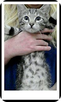 Domestic Shorthair Kitten for adoption in Trevose, Pennsylvania - Tony