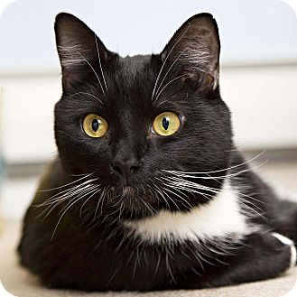 Domestic Shorthair Cat for adoption in Bristol, Connecticut - Charlie