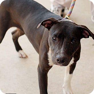 Labrador Retriever/Whippet Mix Puppy for adoption in Fredericksburg, Virginia - Oreo