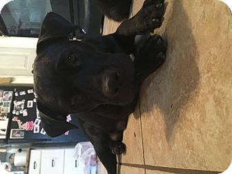 Boxer/Retriever (Unknown Type) Mix Dog for adoption in Olympia, Washington - Meleah