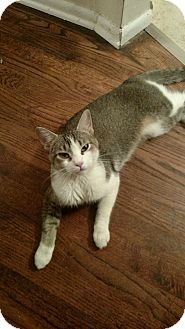 American Shorthair Cat for adoption in Westland, Michigan - Sky