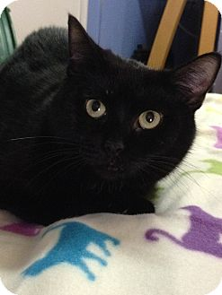 Domestic Shorthair Cat for adoption in Harrisonburg, Virginia - Yvette