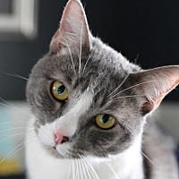 Domestic Shorthair Cat for adoption in Bellflower, California - Jax